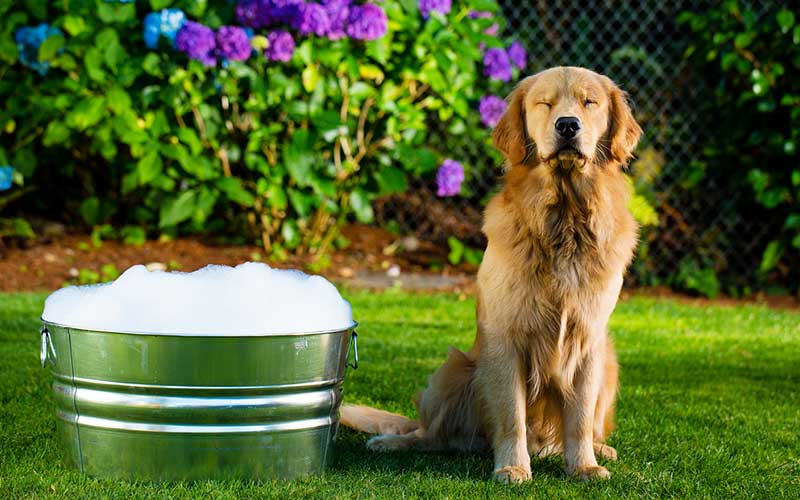 Shampoos for Golden Retrievers